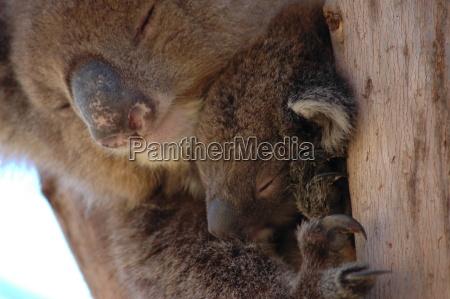 koala, with, boy - 651375