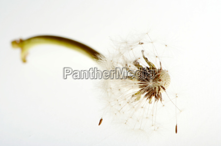 pusteblume, high, key - 651016