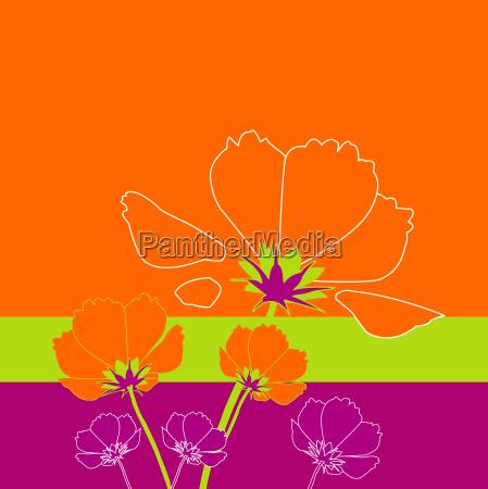 cosmea, orange - 653431