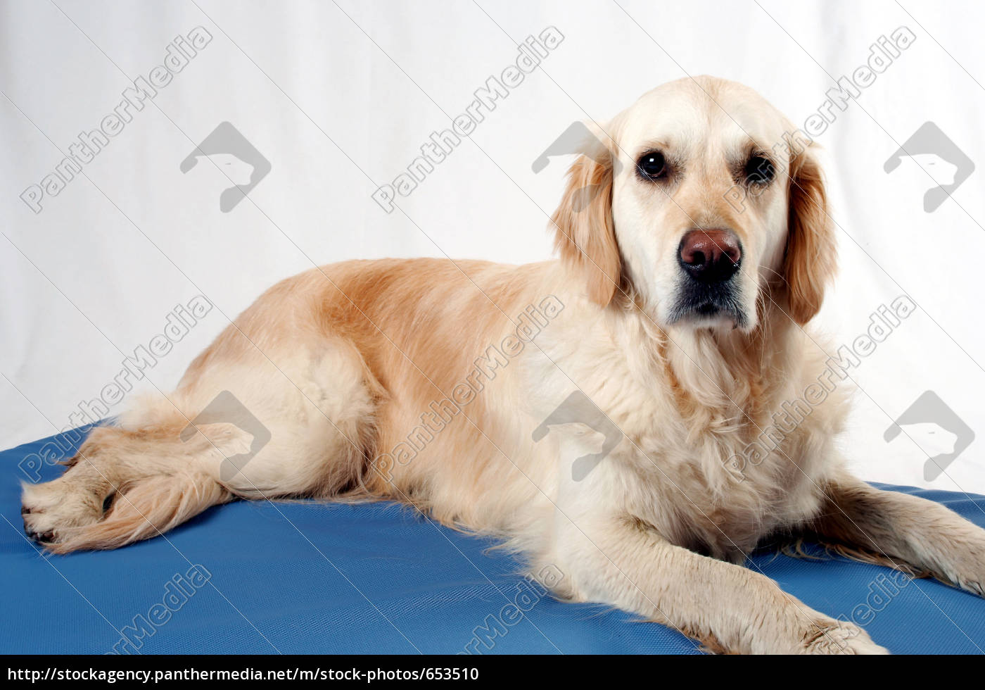 golden, retriever - 653510