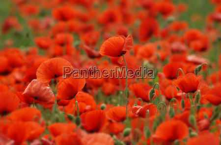 in, poppy, field - 657983