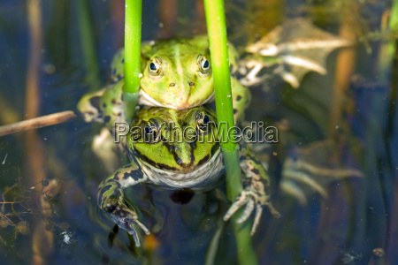 two, water, frogs, during, reproduction - 658257