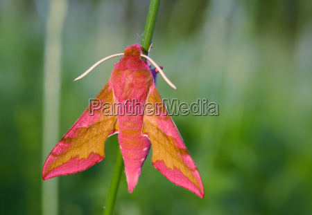 small, elephant, hawk-moth - 660922