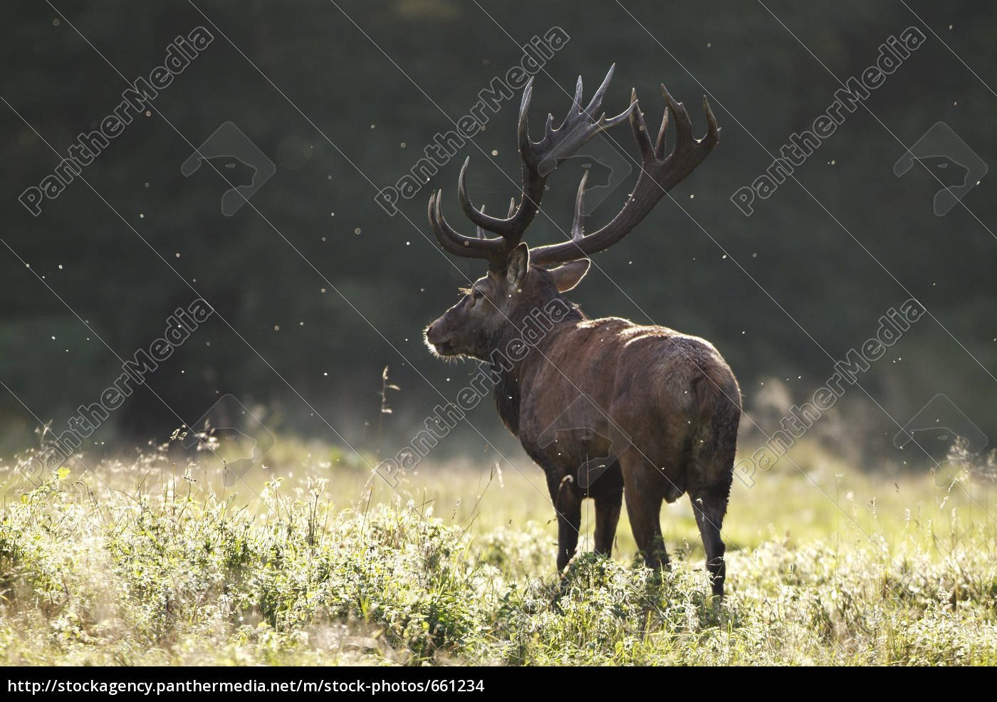 red, deer - 661234
