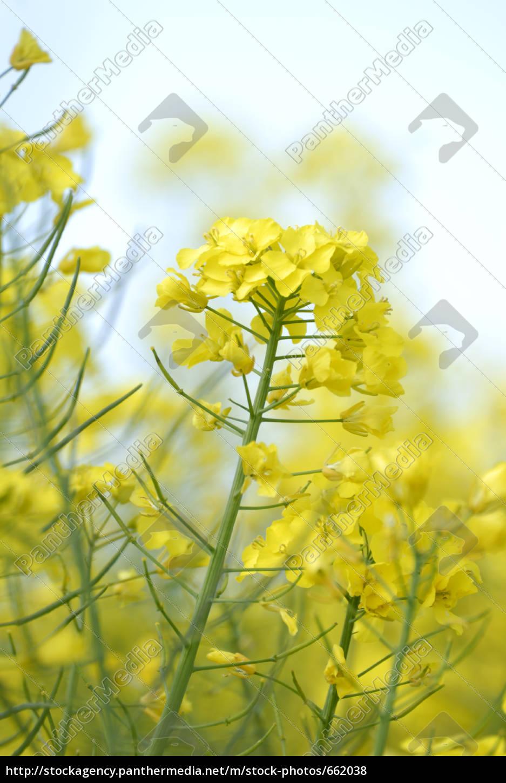 rapsblüte - 662038