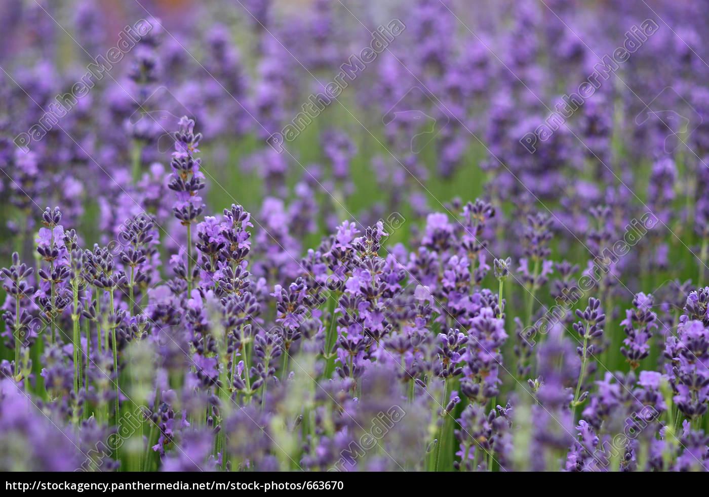lavender, field - 663670