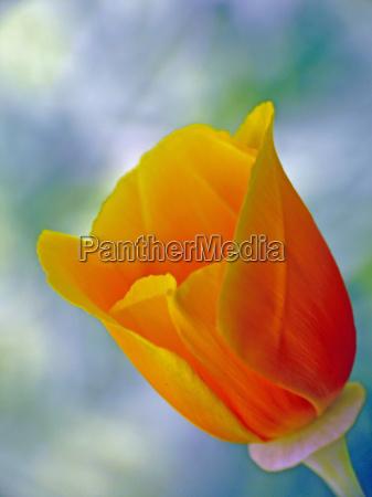 eschscholzia californica poppy