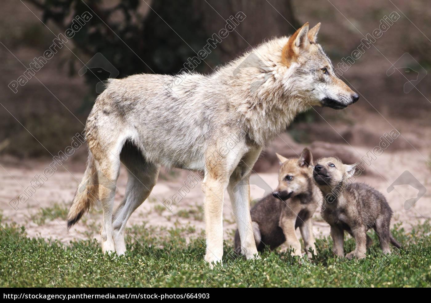 wolf - 664903