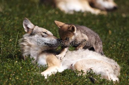 wolf - 664906
