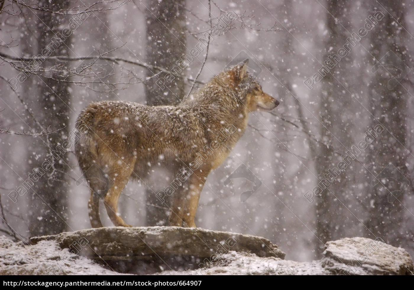 wolf - 664907