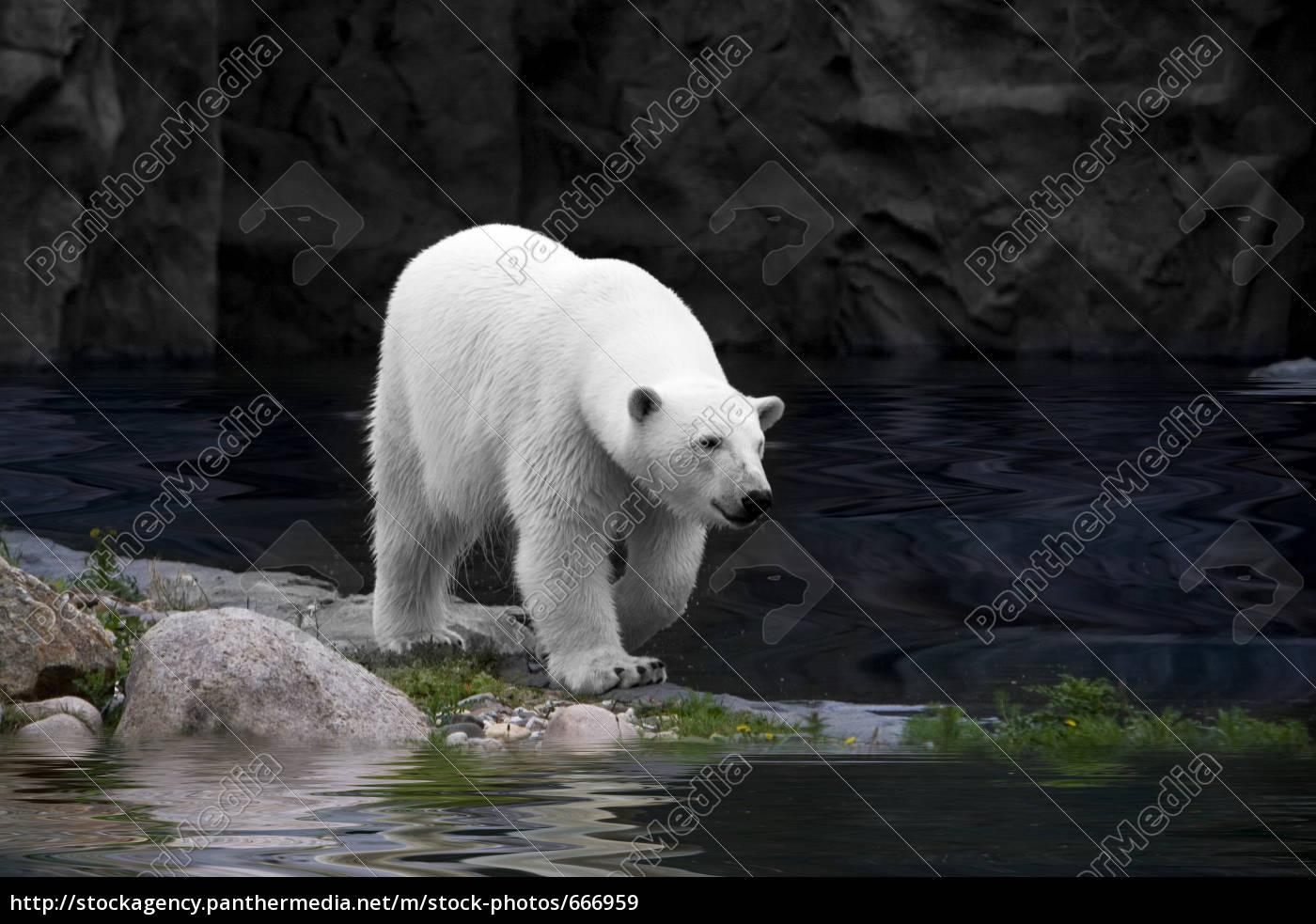 polar, bear, ii - 666959