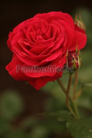 rosenzeit - 666592