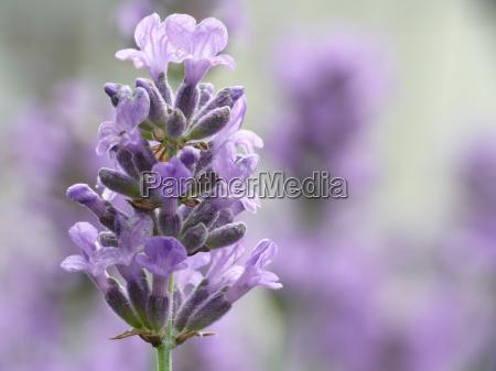 lavandula, angustifolia - 669840