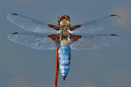 plattbauch, (libellula, depressa) - 669763