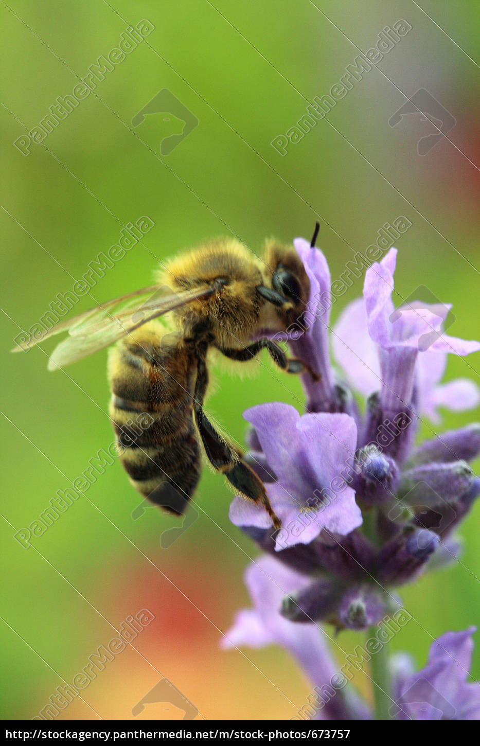 honey, bee, on, lavender - 673757
