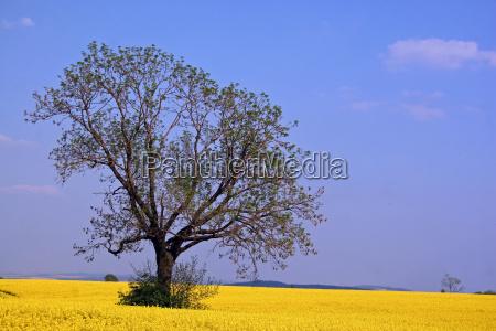 tree in the rape field