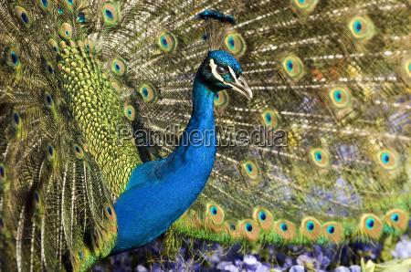 peacock - 677206