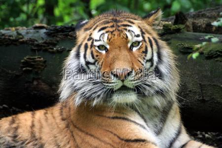 sibirian, tiger - 677364
