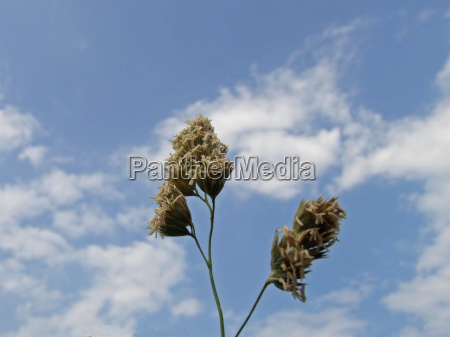 the dry plant