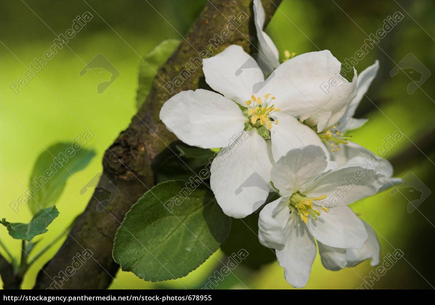 apple, blossom - 678955