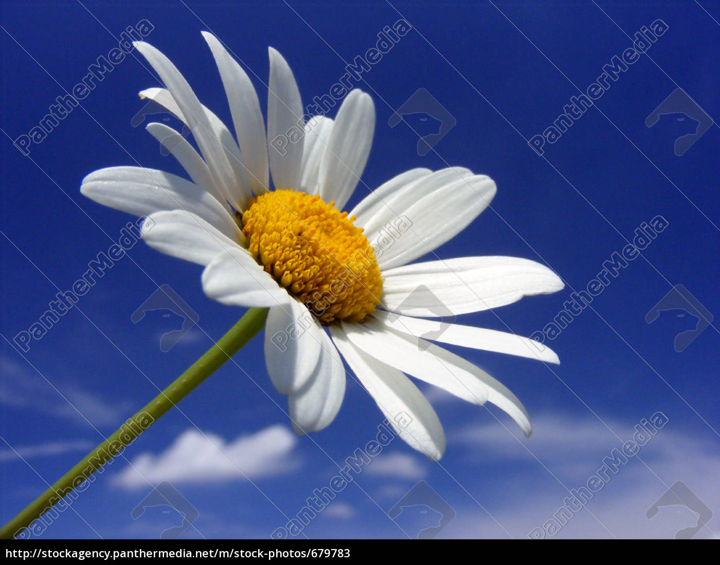 daisy - 679783