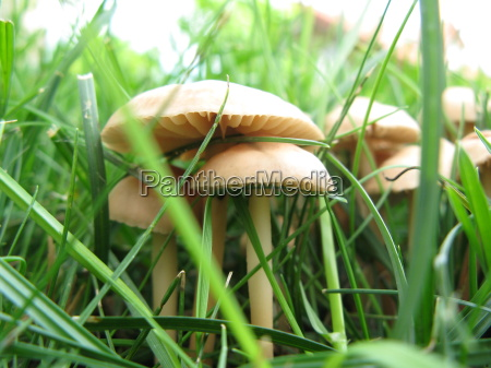 witch ring mushrooms 1