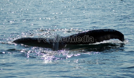 humpback whales in digby