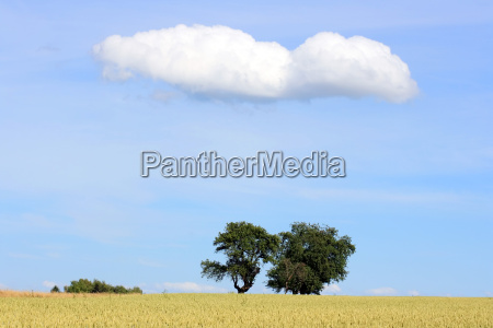 trees with cloud and wheat field
