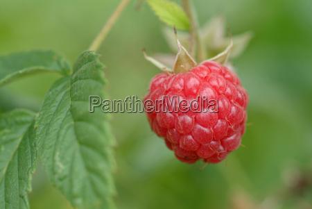 raspberry - 686401