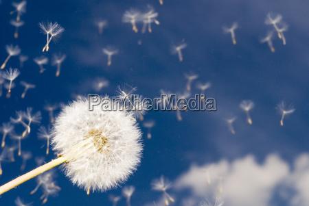 dandelion, (taraxacum, officinale) - 694017