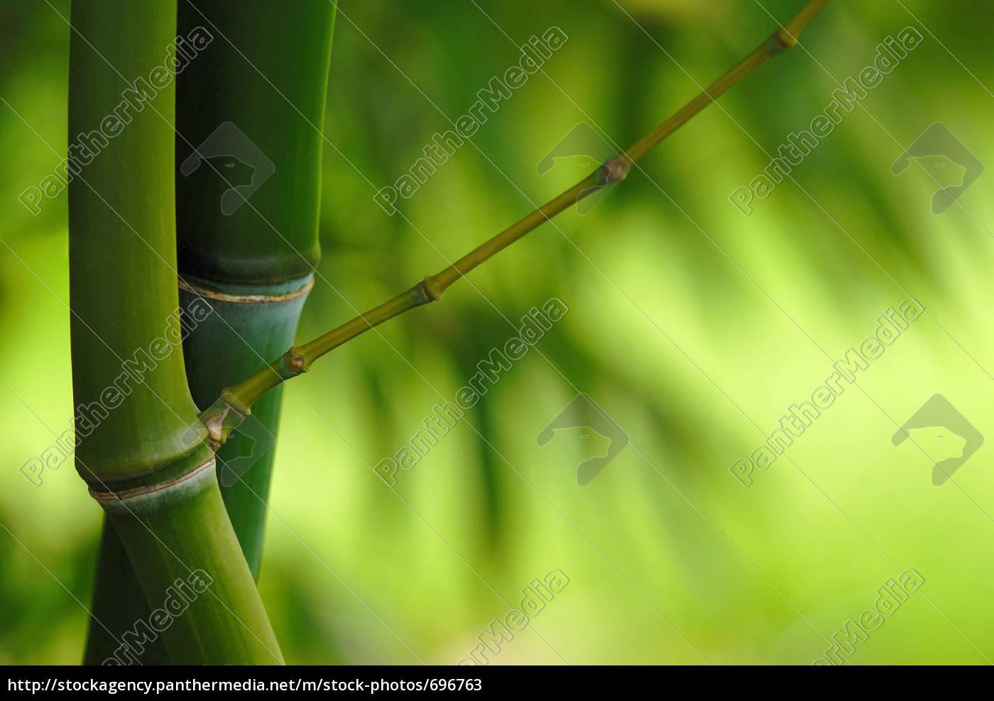 bamboo, phyllostachys, iridescens - 696763