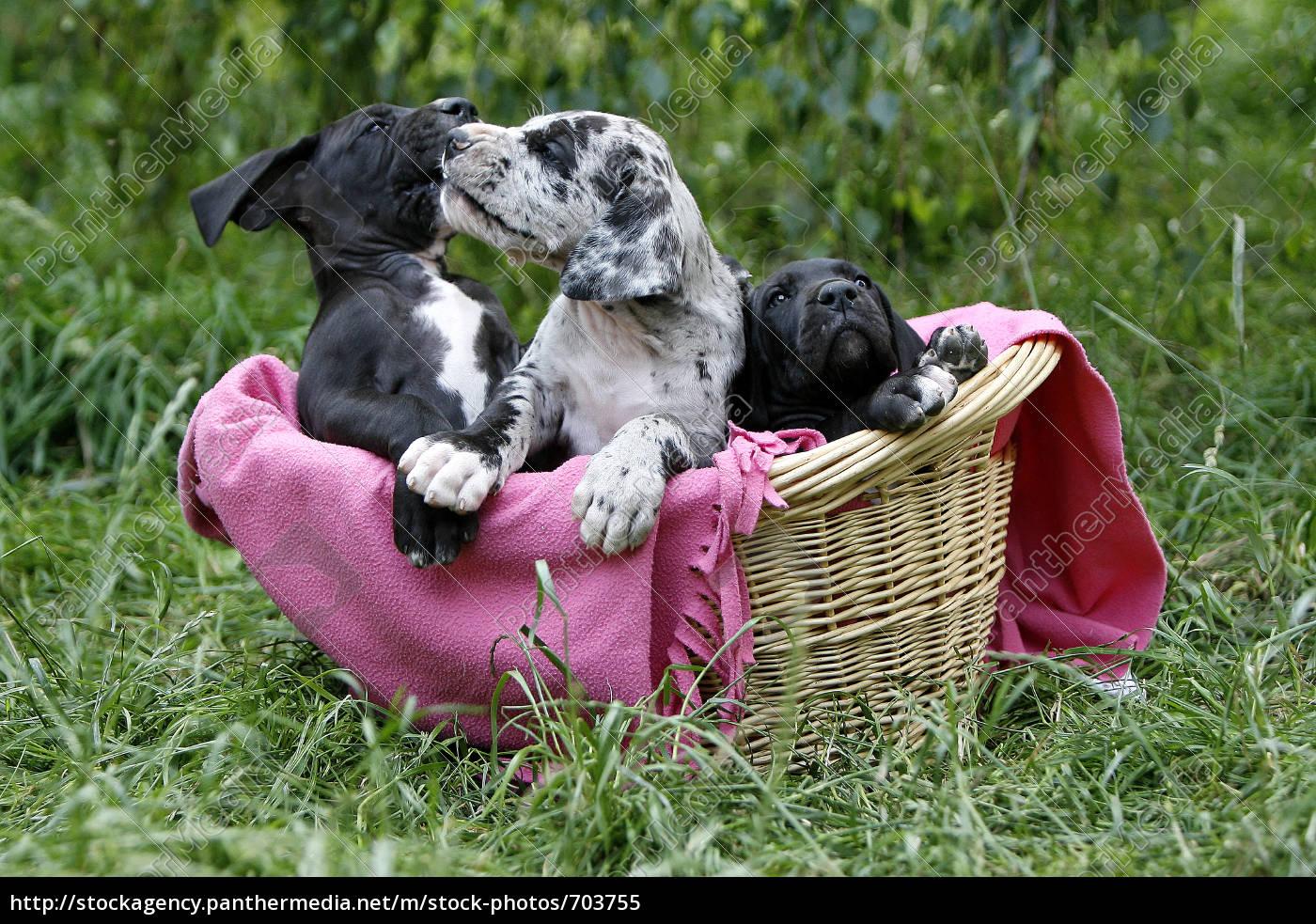 3, bulldog, puppies, in, basket - 703755