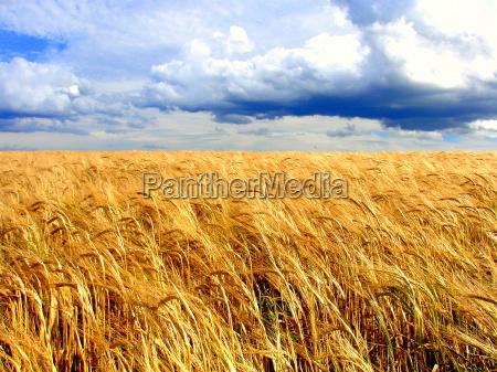 cornfield - 704607