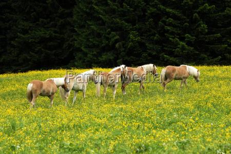 haflinger - 710814
