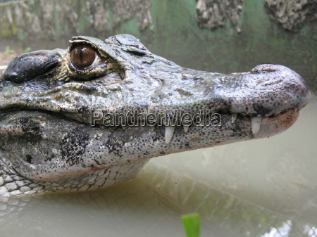krokodil, jacaré, amazonas - 711616