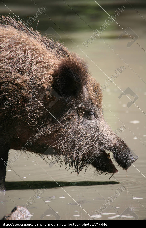 wild, boar - 714446