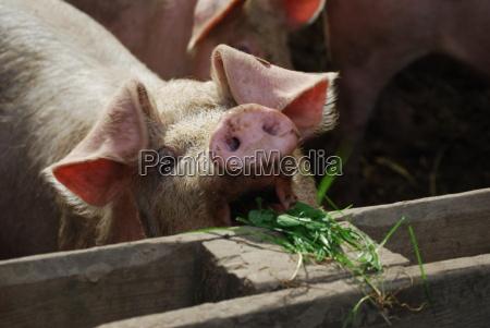 bioschweine - 717248