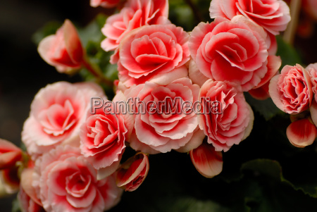 red, begonia, elatior - 718190