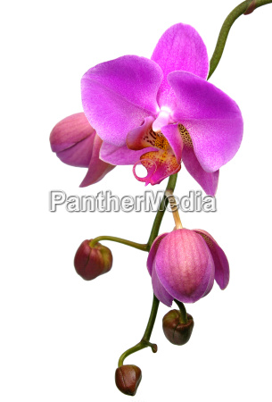 orchid - 719036