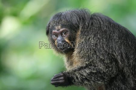 monkey portrait saki females