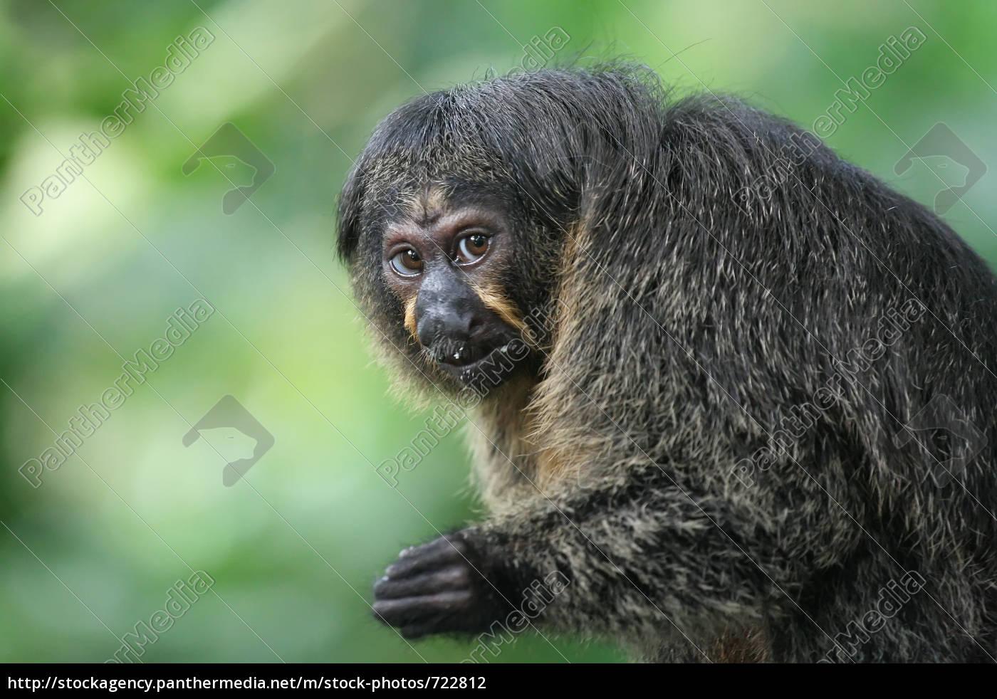 monkey, portrait, -, saki, females - 722812