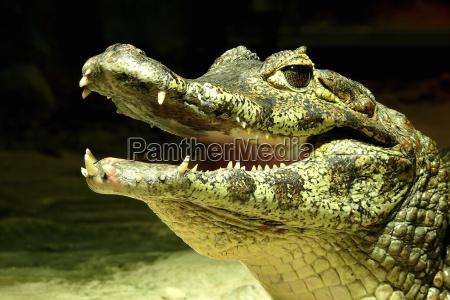 reptil verde boca crocodilo dentaduras olho