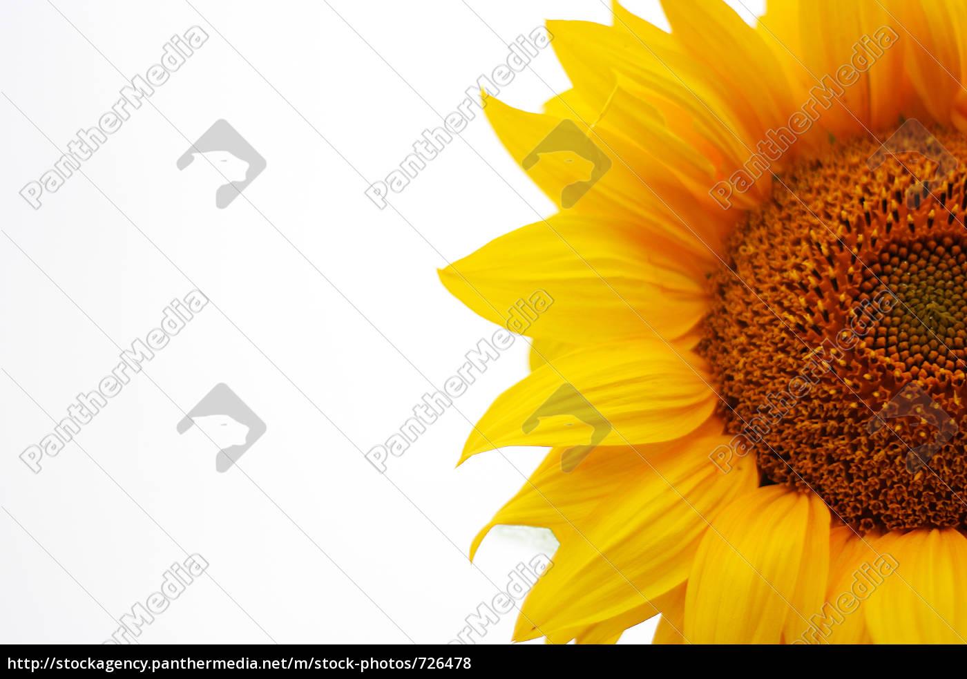 sunflower - 726478