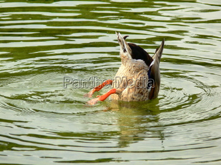 duck, dive, in, the, water - 729356
