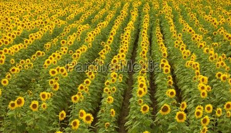 sunflowers, 11 - 730942
