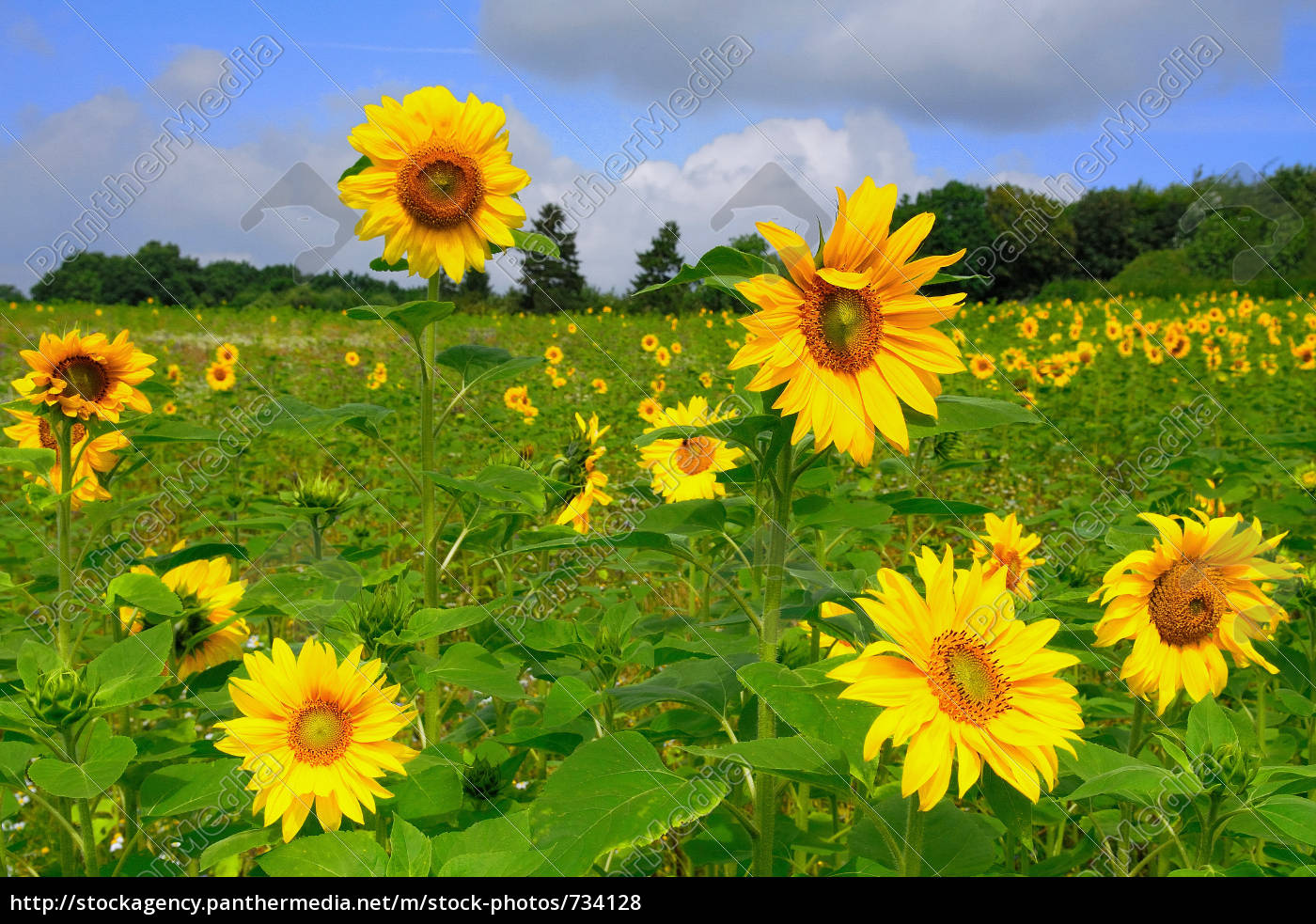 sunflower, field - 734128