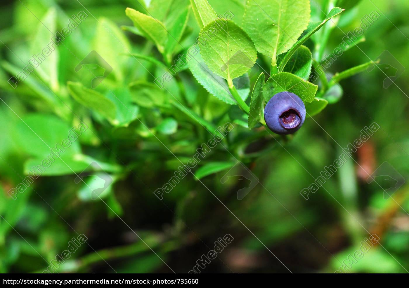 bilberry - 735660