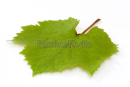vine, leaf - 737256