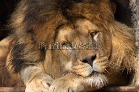 lion - 740262