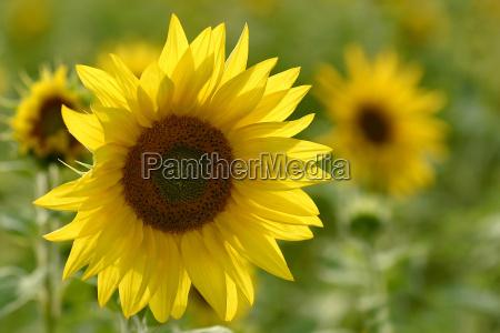 a sunflowers